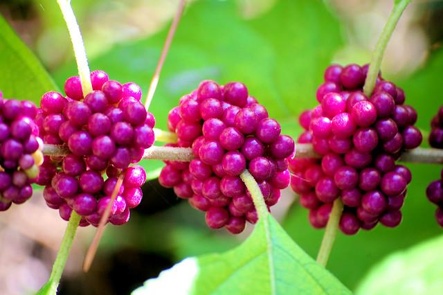 Wild Purple Berries