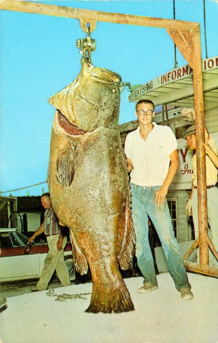 jewfish_644_lbs_caught_by_robert_hurst_of_angleton_TX