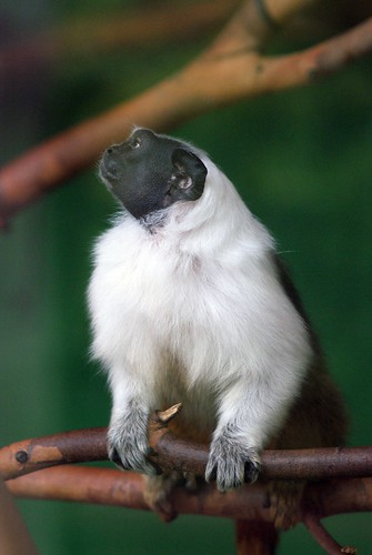 Pied Tamarin: San Francisco Zoo