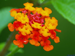 Monsoon Trip to Varandha Ghat..12..Bright Red & Yellow Lantana flowers (ravi_gogte) Tags: red wild india west yellow dam flag indian olympus sage spanish lantana camara pune neera aculeata armata bhor fantasticflower devghar e520