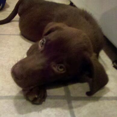chocolate Labrador Retriever photo-Buddy