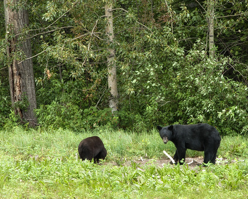 Black Bear and cub chewing on bones