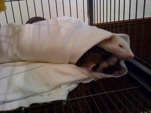 Ferret Burrito