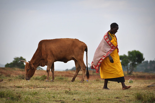 MasaiandCow
