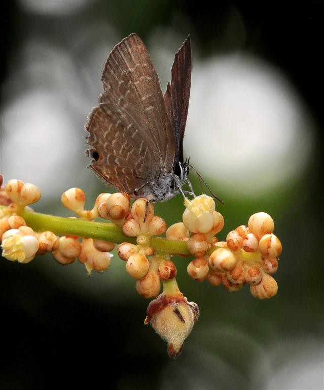 Lepisanthes amoena flowers with Glistening Caerulean butterfly