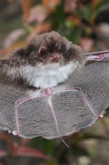 Morcego, Amazonas e Roraima, Brasil