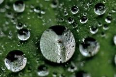 Bubble on Bubble (Broot - Thanks for a half million views!!) Tags: summer macro green nature wet water rain closeup garden lens leaf bokeh maine august drop refraction 20mm raindrop extensiontube ladysmantle tenantsharbor