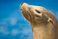 Seal Portrait (Kartik J) Tags: ocean blue sea portrait animal rocks sandiego wildlife july lajolla explore pacificocean seal pinnipeds seals lajollashores frontpage sonycamera harborseals pinniped animalportrait cuteanimal a500 sonydigitalslr sonyalphadslr sonyclick earedseal cuteseal sal70300 sal70300g sal70300gssm sonyindia sonydslra500 sonyalphadslra500 kartikjayaraman