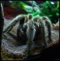 Mozart Lunch (LadyDragonflyCC - >;<) Tags: hair spider fuji legs feeding arachnid august tarantula finepix feed fangs 2010 s100fs cimalacustomphotography