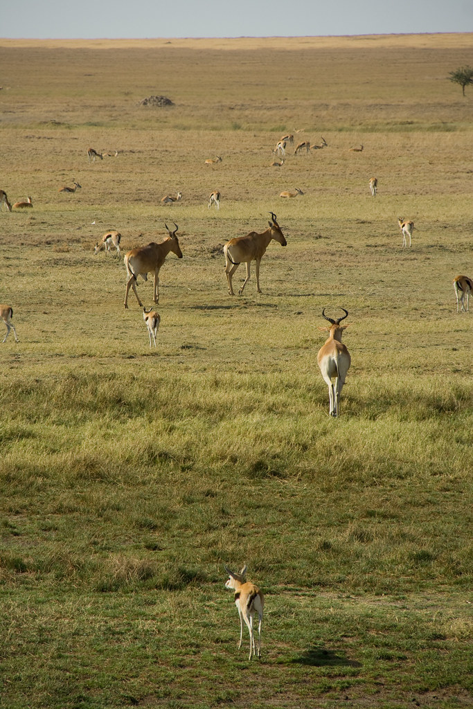 Kongoni and Thomson's Gazelle - Serengeti, Tanzania