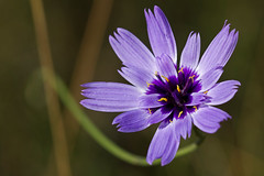 Cupidone (Catananche caerulea) Cupidone blue (Sinkha63) Tags: summer france flower macro nature fleur die wildflower asteraceae flore rhonealpes drme et cupidsdart rhnealpes catananche catananchecaerulea chapias astraces hierbacupido cigaline cupidone catananchebleue cupidonebleue