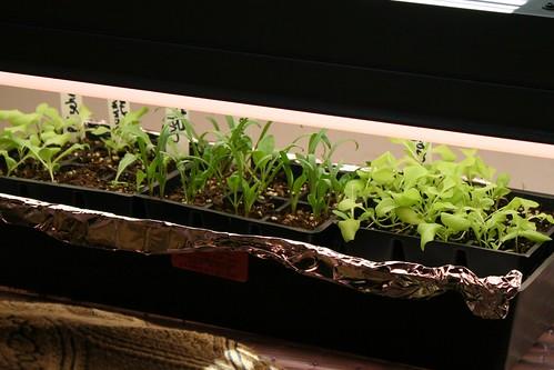 seedings under lights