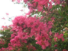 Crape myrtle in August