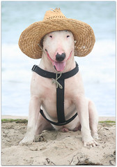 Tequila (monika_denne) Tags: beach hat play straw tequila bullterrier