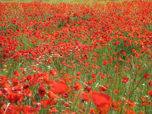 Poppy field / Campo de amapolas
