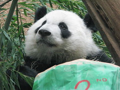 2 years old...  still adorable (bob2cleo) Tags: bear cub panda endangered za zooatlanta lunlun 2ndbirthday xman xilan xilanbirthday