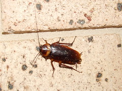 Periplaneta americana American Cockroach DSCF72221