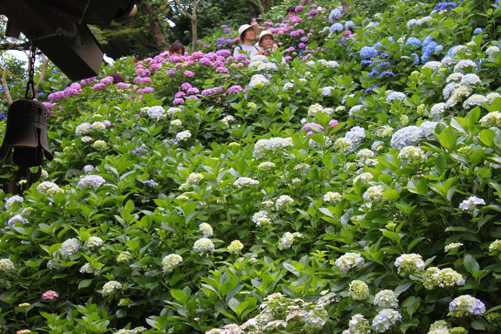Hydrangeas - Exploring Hase, Kamakura part2 (8)