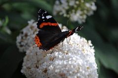 Red Admiral - one of 13 on our buddleia