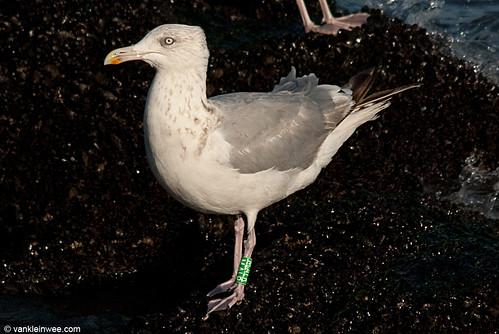 European Herring Gull, 4cy, G[M.ALR]