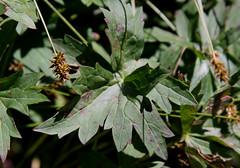 Sticky Purple Geranium (Geranium viscosissimum), leaf (Arboreal Boids) Tags: plant oregon leaf alpine geranium harneycounty steensmountains geraniumviscosissimum stickypurplegeranium