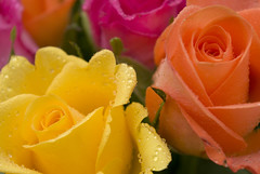 Raindrops on Roses (Photography By Pixie) Tags: pink flowers roses summer orange sun macro water floral rain rose yellow closeup gold golden petals flora with bright vibrant peach vivid drop drip part bloom raindrops cropped summertime section