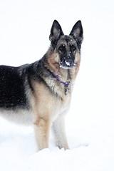 K9 Brandi (tjs1963 (Terri)) Tags: snow nose alabama january trinity brandi sar k9 gsd blackandtan germanshepherddog canon500d northalabama napg canont1i