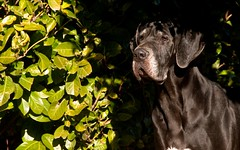 OMBRA (Lace1952) Tags: dog cane ombra sole freddo nero luce vco alano femmina ossola khnum nikond300 nikkor200f2vr
