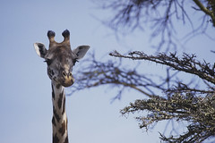 Flickr-Kenya2002-65 (frederic.salein) Tags: kenya lion lac animaux chasse carnivores lieux mammifre masaimara riftvalley gnou mammifres gographie navaisha bovid girafemasai artiodactyles comportements giraffids