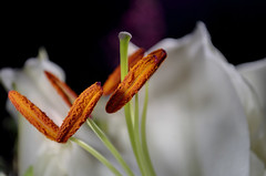 White Stargazer Lily Stamen (Fused) [NOT HDR] (cm|PHOTO) Tags: white flower macro up closeup petals nikon lily close flash stargazer petal stamen filament anther sbr200 su800 d5000 sb900