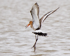 Landing (Andrew Haynes Wildlife Images) Tags: nature suffolk wildlife minsmere rspb godwit canon7d ajh2008