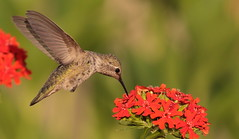 Anna's Hummingbird (Eric_Z) Tags: annashummingbird hummingbird coquitlam britishcolumbia canada canoneos7dmkii ef100400mmf4556lisiiusm maltesecross