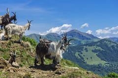 Alpe del Giumello (M-Gianca) Tags: montagna alpe animali carlzeiss sony mountain