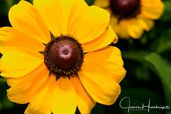 Blackeyed- Susan (jhambright52) Tags: blackeyedsusan rudbeckiahirta macro macroflower yellowmacroflower coth5 doublefantasy