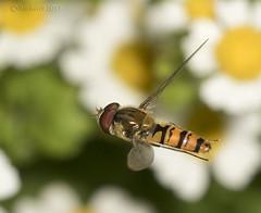 Syrphini - Episyrphus balteatus - #1 (Ben Revell) Tags: animalia arthropoda insecta diptera syrphidae syrphini episyrphus episyrphusbalteatus hoverfly scunthorpe lincolnshire england