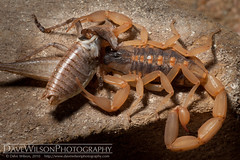 Striped Bark Scorpion Feeding