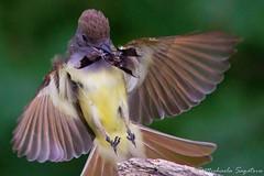GCF (~ Michaela Sagatova ~) Tags: bird nature inflight nest flight dundas nesting bif flycatcher greatcrestedflycatcher myiarchuscrinitus dvca michaelasagatova