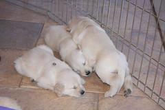 IMG_4572 Day31 (younggtx) Tags: dog pets dogs goldenretriever puppy golden puppies birth canine powder retriever best mansbestfriend litters familypets puppybirth goldensmile petspuppy puppiesgolden retrieverpetsdogdogspuppiespuppyfamily birthcaninemans friendakcpetpets birthpuppies birthbirthpowdernewborn puppiescaninesbirth smilenewborn akcgoldenretriever powdernewborn puppiespetpetsdogdogsfamily petsk9caninemans friendlittersakc retrieverakc petsnewborn smilepowderpowder puppylitters