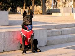 CHILE APERRADO (Pablo C.M || BANCOIMAGENES.CL) Tags: chile santiago dog animal perro deporte mundial futbol mirada providencia sudafrica wordcup derrota resignacin