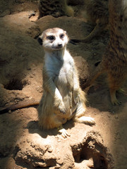 Meerkat (meeko_) Tags: africa animals gardens tampa meerkat florida edge themepark buschgardens attraction busch buschgardenstampa buschgardensafrica buschgardenstampabay edgeofafrica