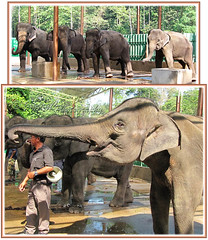 The Asian Elephants (Elephas maximus) waiting happily to be fed sugar-canes