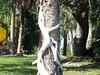 Strangler Fig (Hawk 1966) Tags: tree nature outdoors florida strangler fig kodak strangle fl choke palmbay z650