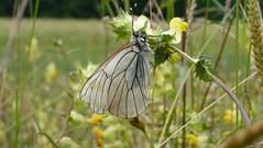 Baumweißling Black-Veined White (Aah-Yeah) Tags: white black butterfly bayern schmetterling achental veined chiemgau aporia crataegi tagfalter marquartstein baumweisling