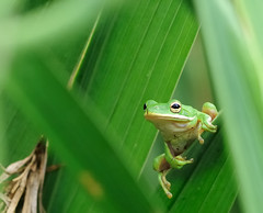 garden_budy-frog_6-30-10_077 (pmsswim) Tags: summer june rana 2010 greentreefrog naturesfinest inthegladiolas mynewlittlegardenbuddyisagreenfrog