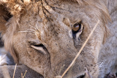 I am watching you! (MAC's Wild Pixels) Tags: kenya masaimara mywinners canoneos50d macswildpixels