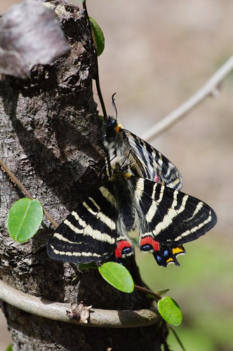 Luehdorfia japonica
