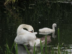 """I'll keep an eye on you!"" (Ameliepie) Tags: summer bird nature water grass animal swimming season swan july 2010"