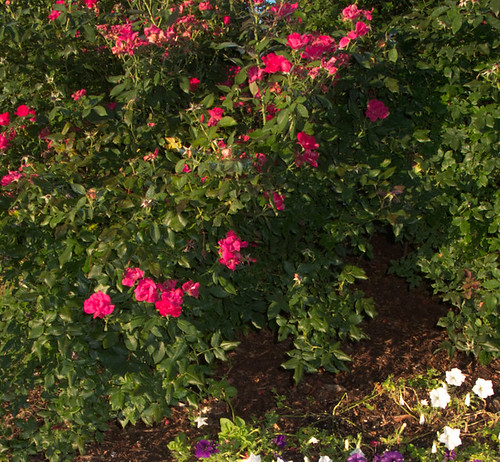 Red Rosebush