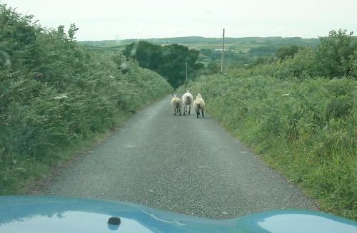the road  sheep  sheepwash