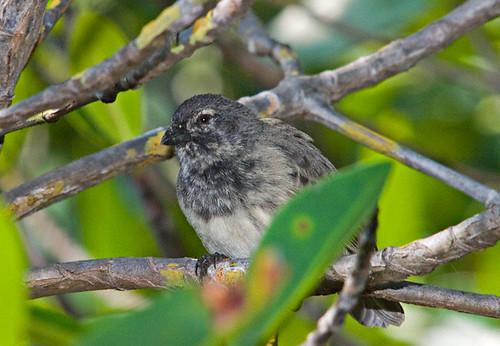 Mangrove-Finch-0018